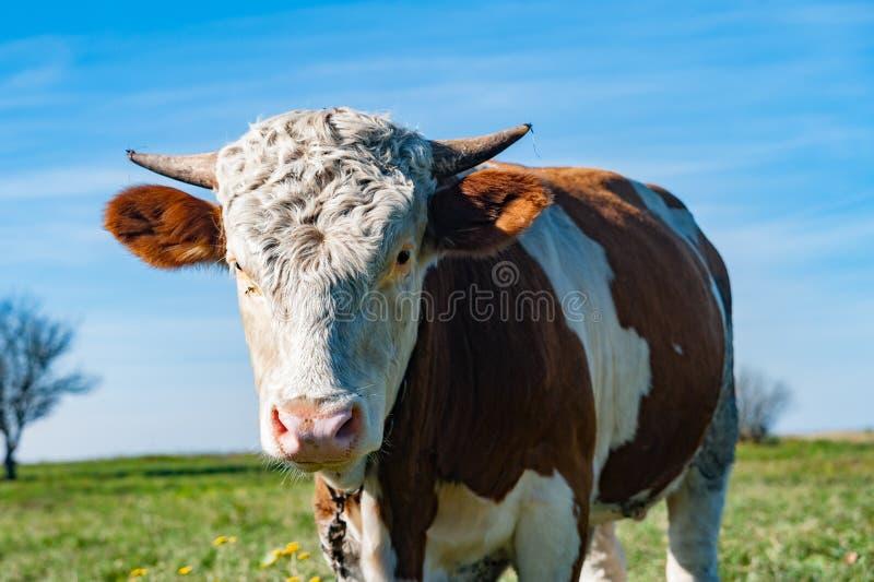 animal rural del retrato de la vaca imagen de archivo libre de regalías