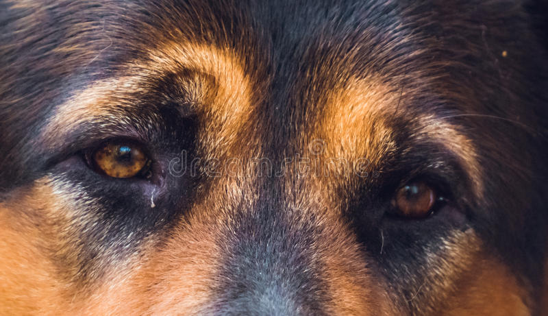 Animal's eyes. German shepherd. Loyalty and devotion. Expressive eyes of a big shepherd. Dog is the man's best friend stock photography