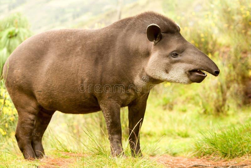 Animal salvaje del tapir femenino fotos de archivo libres de regalías