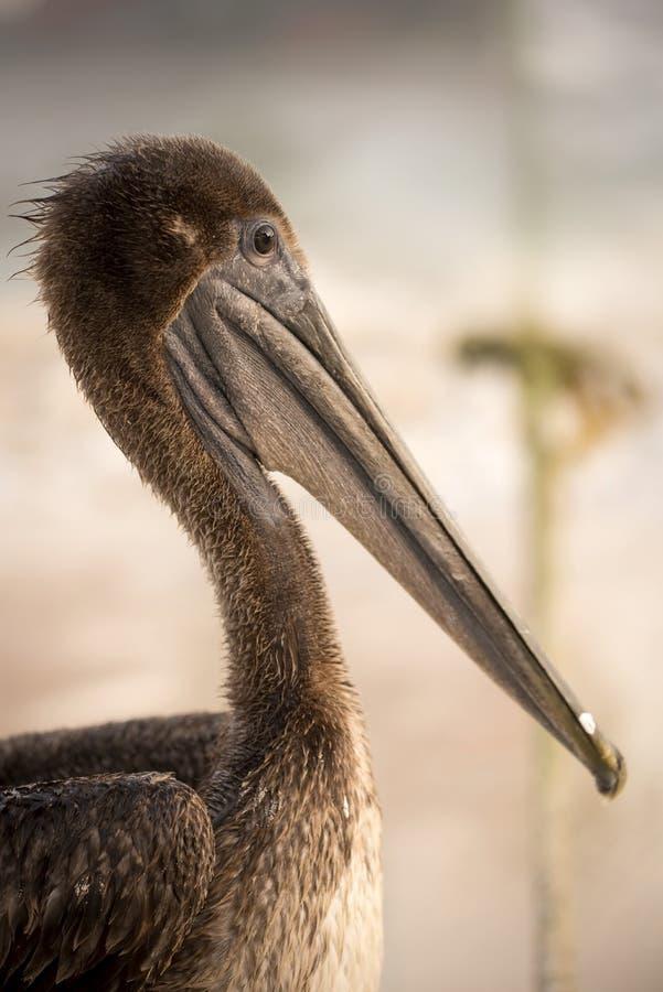 Animal sauvage d'oiseau de pélican de Brown sur la plage tropicale photos libres de droits