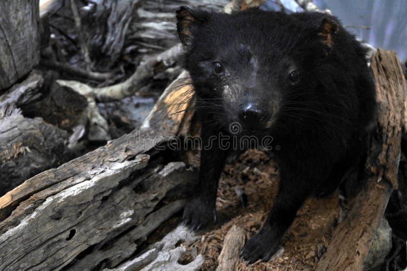 Animal sauvage animal de diable tasmanien de diable tasmanien dans la nature photographie stock libre de droits