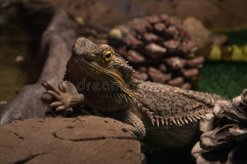 Animal sauvage exotique dans la mini-serre - dragon d'eau image stock