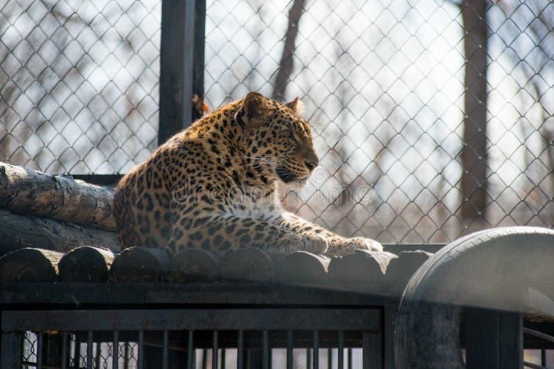Animal sauvage rapide fort de léopard d'Extrême-Orient image libre de droits