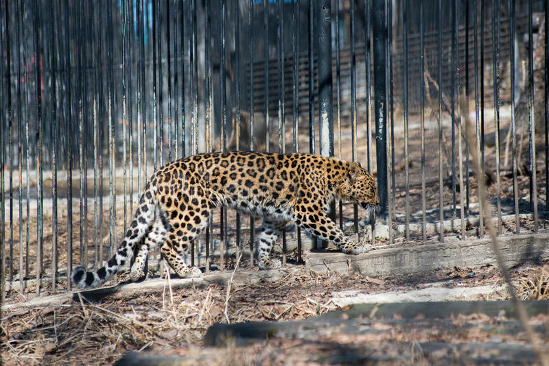 Animal sauvage rapide fort de léopard d'Extrême-Orient photos stock