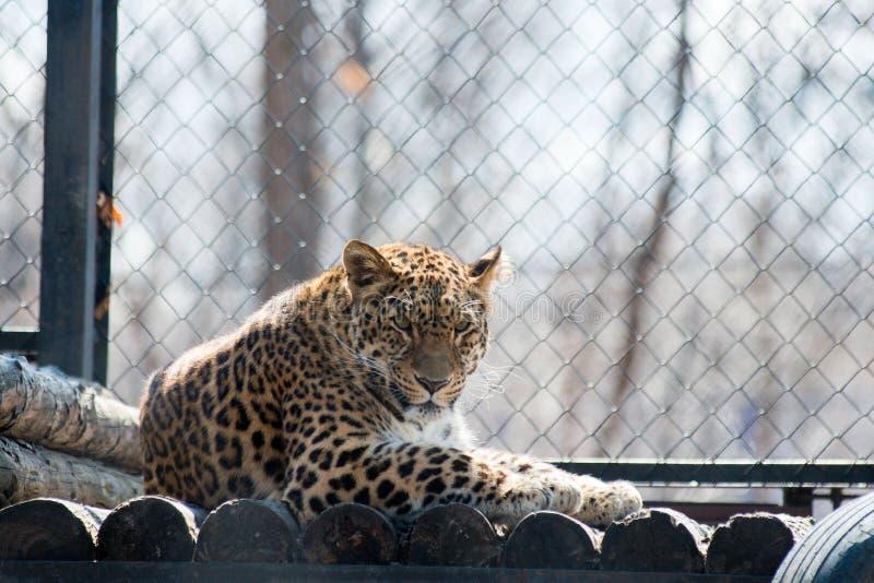 Animal sauvage rapide fort de léopard d'Extrême-Orient photos libres de droits