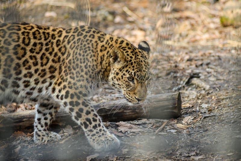 Animal sauvage rapide fort de léopard d'Extrême-Orient image stock