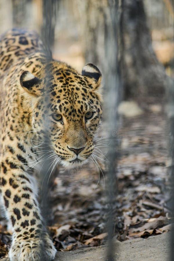 Animal sauvage rapide fort de léopard d'Extrême-Orient photographie stock
