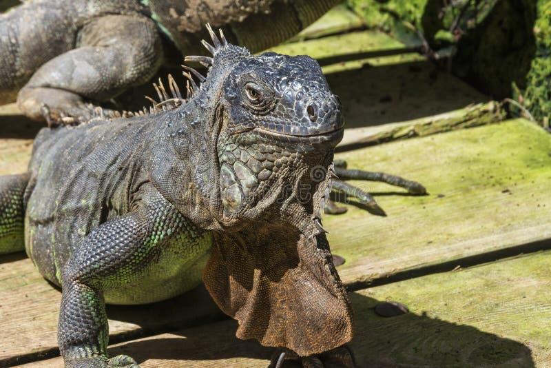 Animal selvagem Close up principal da iguana comum fotos de stock royalty free