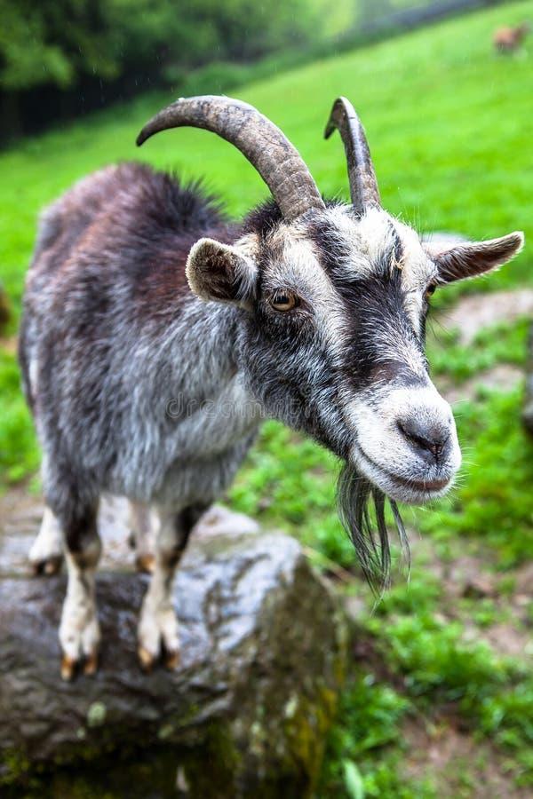 Animal selvagem da cabra de montanha fotografia de stock royalty free
