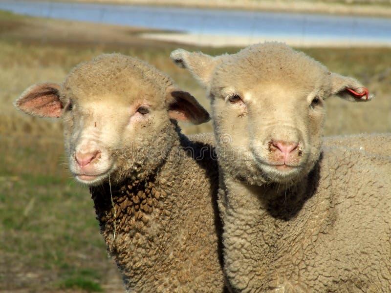 Animal - sheep (lamb) stock image
