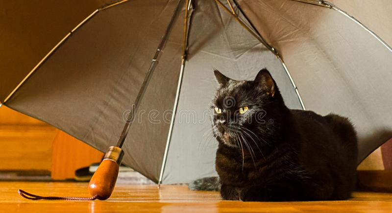 Animal shelter and pet adoption concept: a black cat is in safety at home under grey umbrella left by an owner in the hallway stock photo