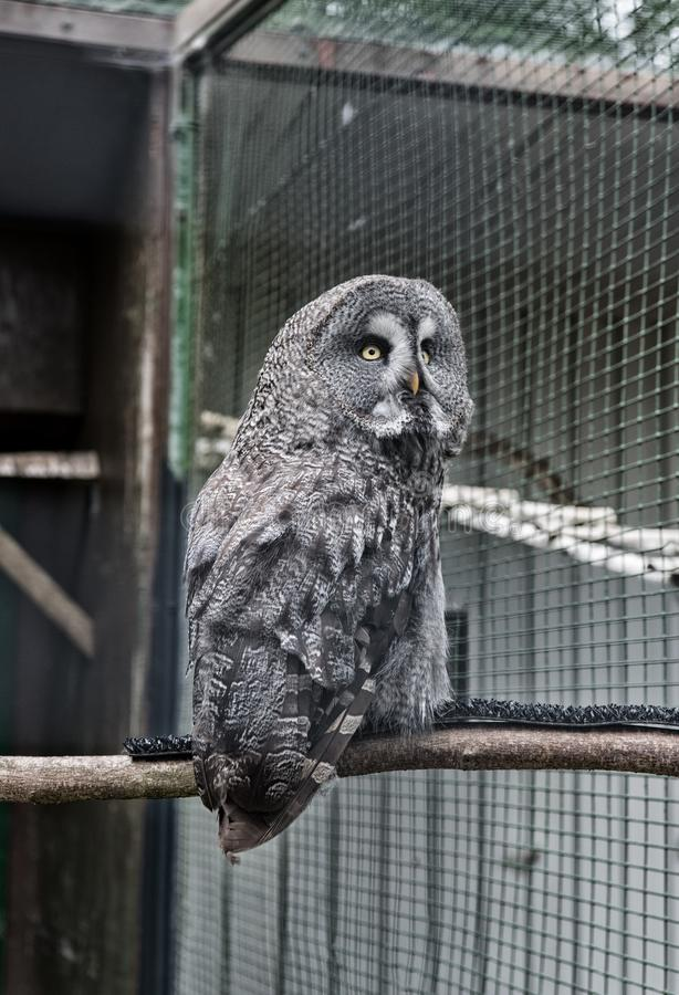 Animal shot capturing owl. Wild life. Gorgeous big bird sit in cage. Calm and peaceful. Ornithology concept. Owl outdoor. Shot. Owl typical species for many royalty free stock image