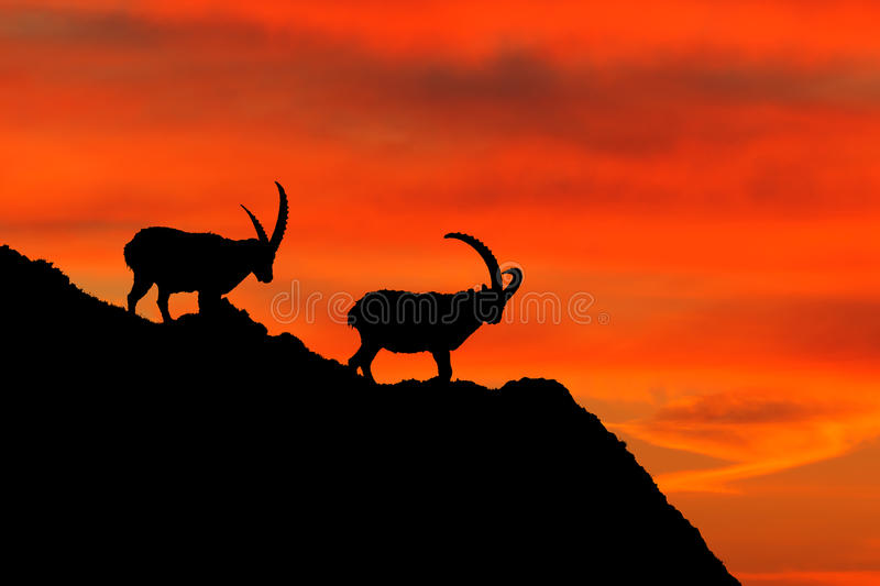 Animal silhouette with orange evening sunset in the Alps. Antler Alpine Ibex, Capra ibex, animal in nature habitat, France. Beautiful evening in Italy royalty free stock photos