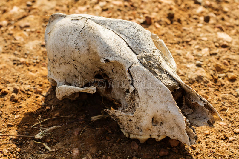 Animal skull on desert. Environment or nature concept and idea stock photo