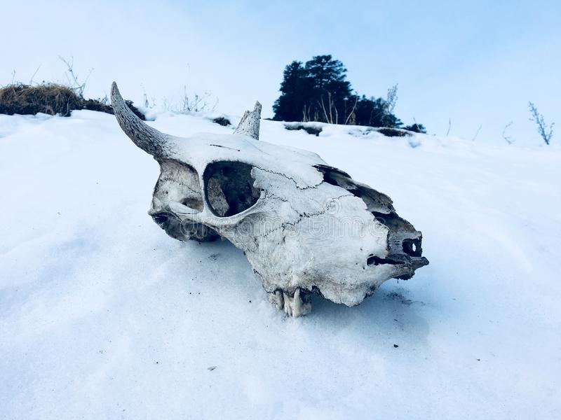 Animal Skull on Ground Covered With Snow royalty free stock photo