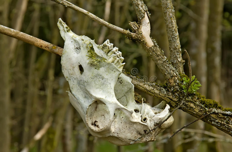 Animal skull. An animal skull hanging on a branche in the wood stock photography
