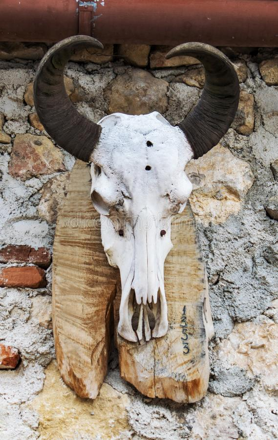 Animal skull with horns, exposed on a piece of wood. Trophy.  stock image