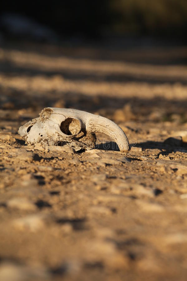 Download Animal Skull In The Sand In The Desert Stock Image - Image: 22517819