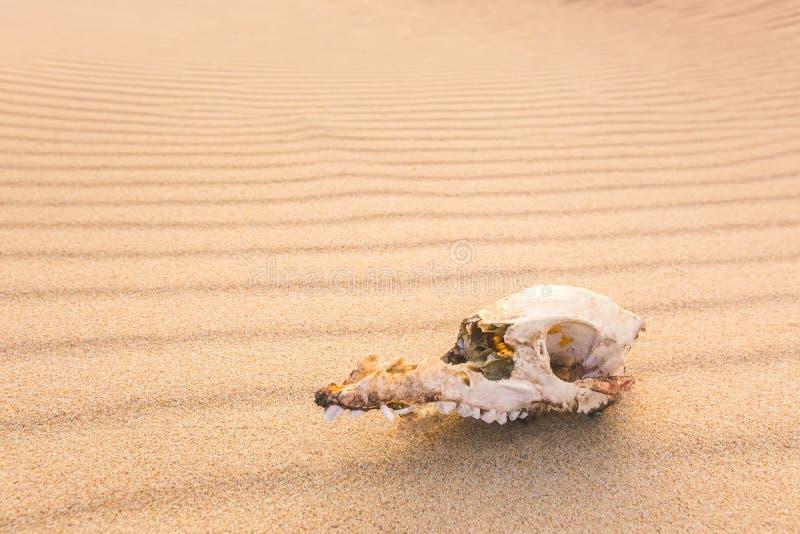 Animal skull on the sand, extinction concept royalty free stock photo