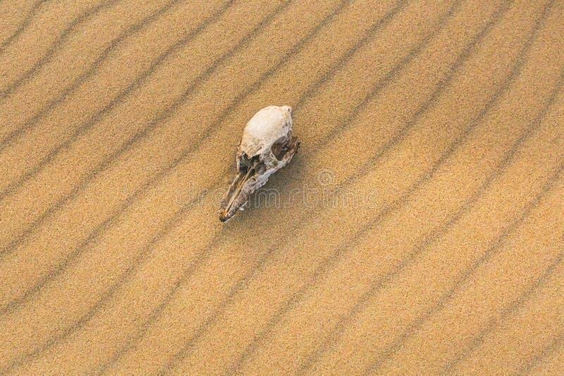 Animal skull on the sand, extinction concept stock photo