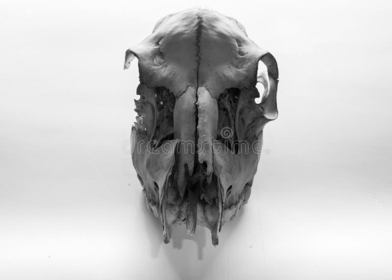 Animal skull in studiolight stock photography