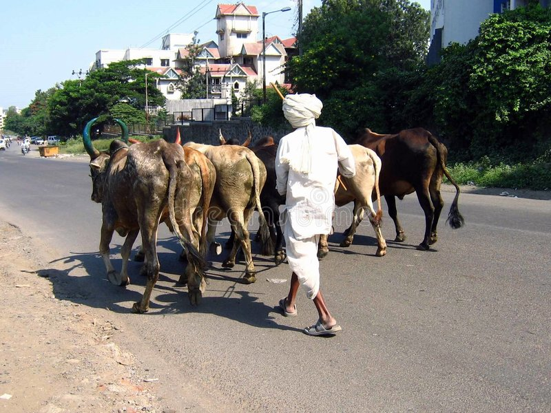 Animal Street. Bullocks and cows walk down the road back to their home with their master who is an elderly farmer royalty free stock photos