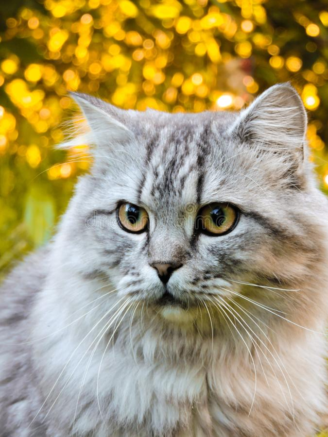 Animal in the  in Summer. Beautiful grey cat with Yellow Eyes.Cute tabby and  furry cat in park. Top view. Portrait of cute three stock photos