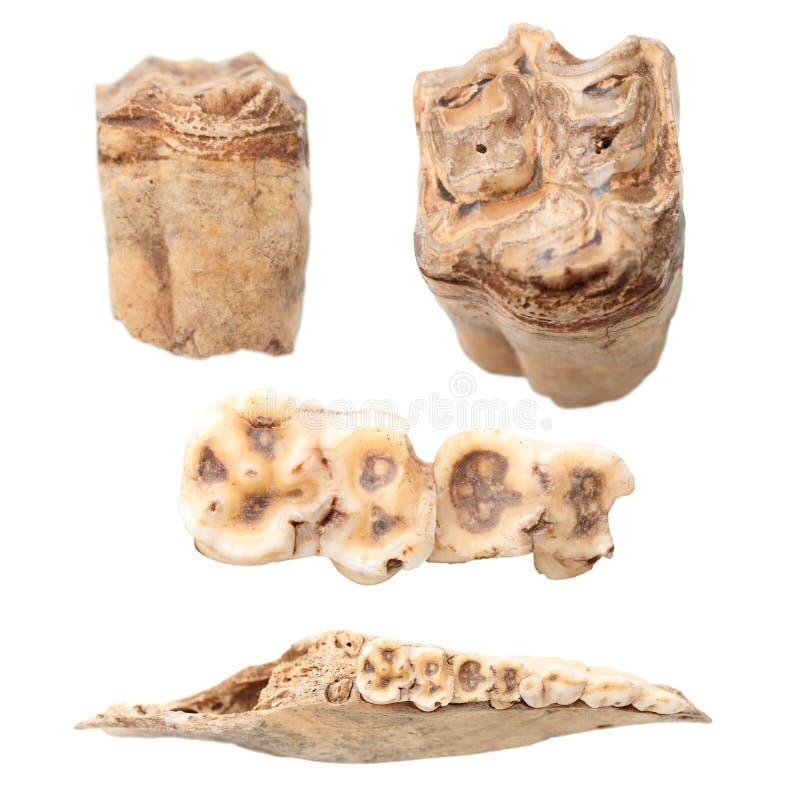 Animal Teeth And Mandible Over White Stock Photo - Image of anatomy ...
