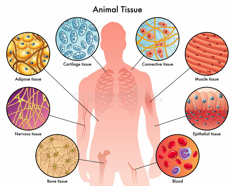 Animal tissues. Medical illustration of the various animal tissues