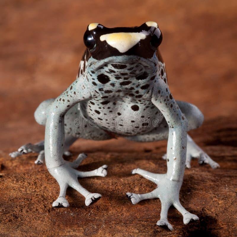 Animal toxique de grenouille de dard de poison images stock