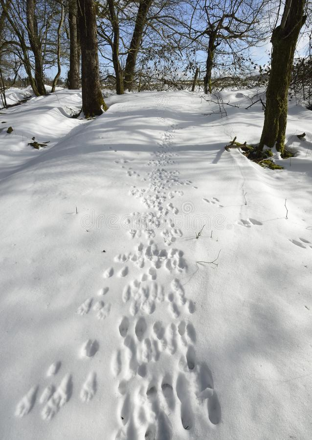 Animal tracks in Snow. In Winter Woodland Mendip Hills royalty free stock image