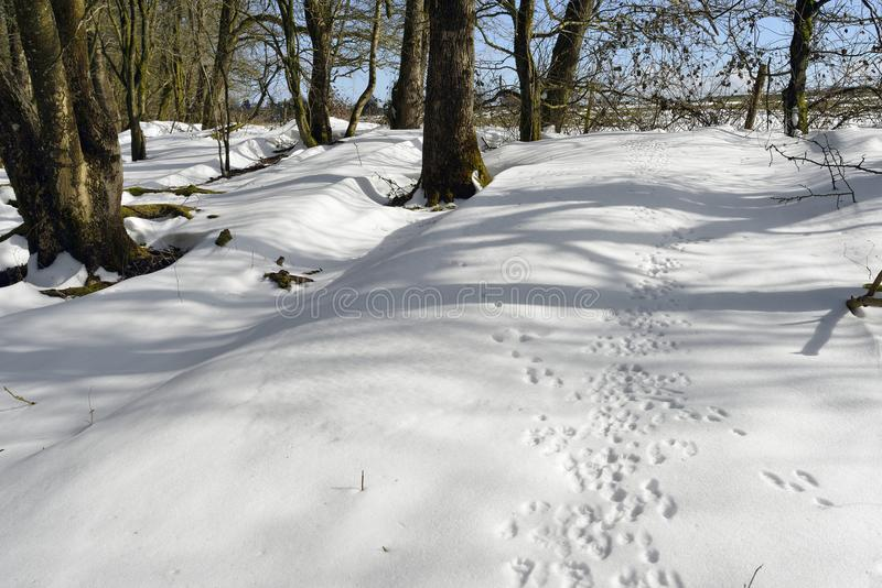 Animal tracks in Snow. In Winter Woodland Mendip Hills stock photography