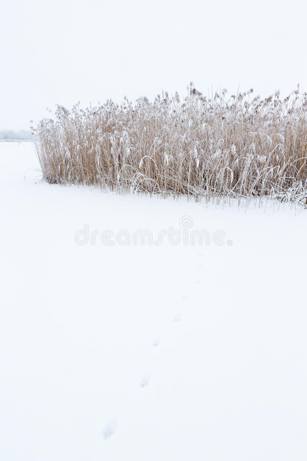 Animal Tracks in the snow royalty free stock photo
