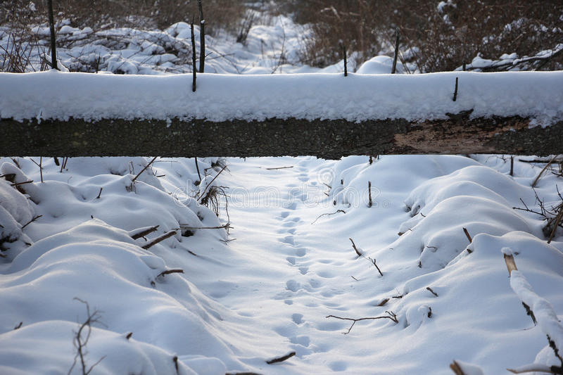 Animal tracks in the snow, under the fallen tree stock image