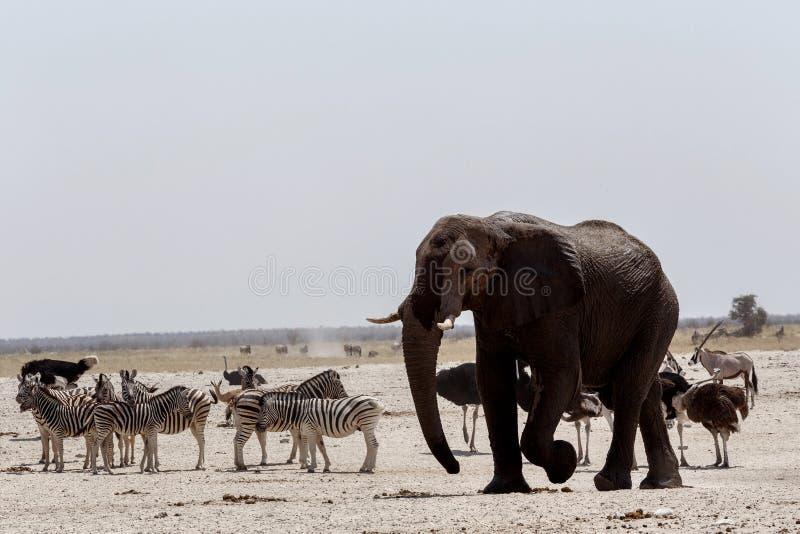 Animal trafic on muddy waterhole in Etosha. African elephants drinking at a muddy waterhole with other animals, Etosha national Park, Ombika, Kunene, Namibia royalty free stock images