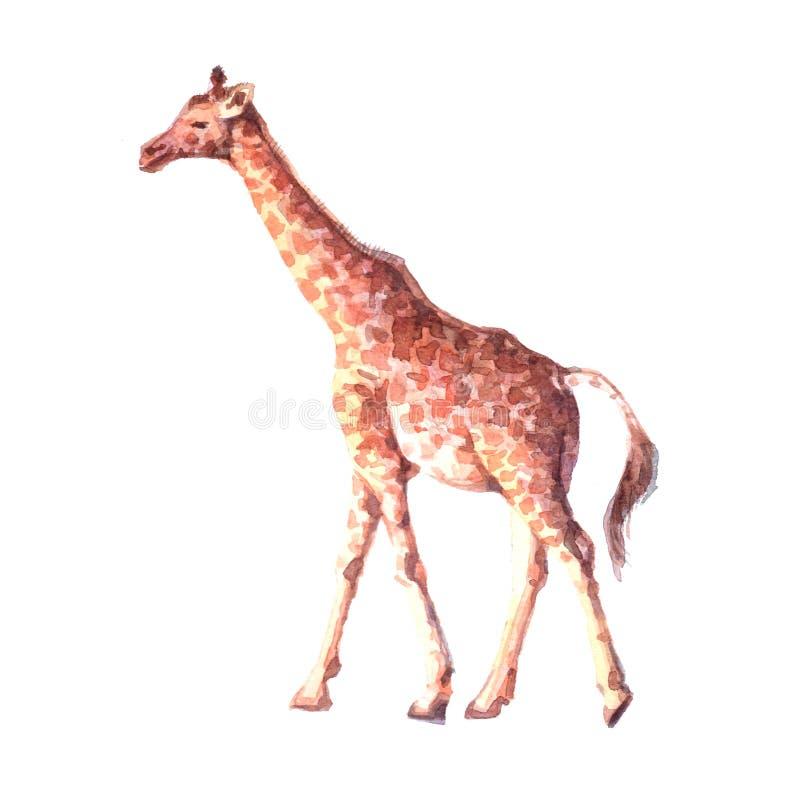 Animal tropical de la jirafa realista de la acuarela ilustración del vector