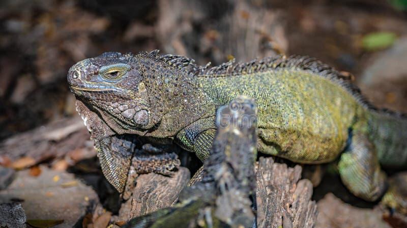 Animal vert de reptile de l?zard d'iguane photographie stock