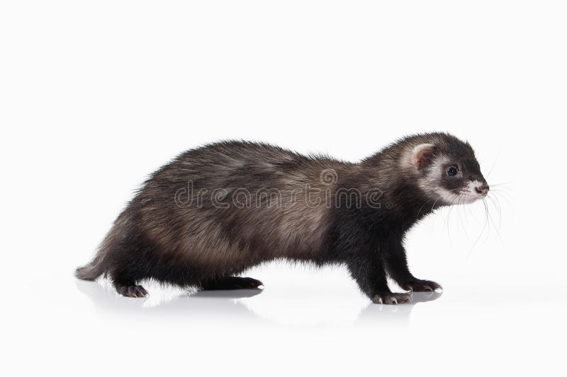 Animal Vieux furet sur le fond blanc photo stock