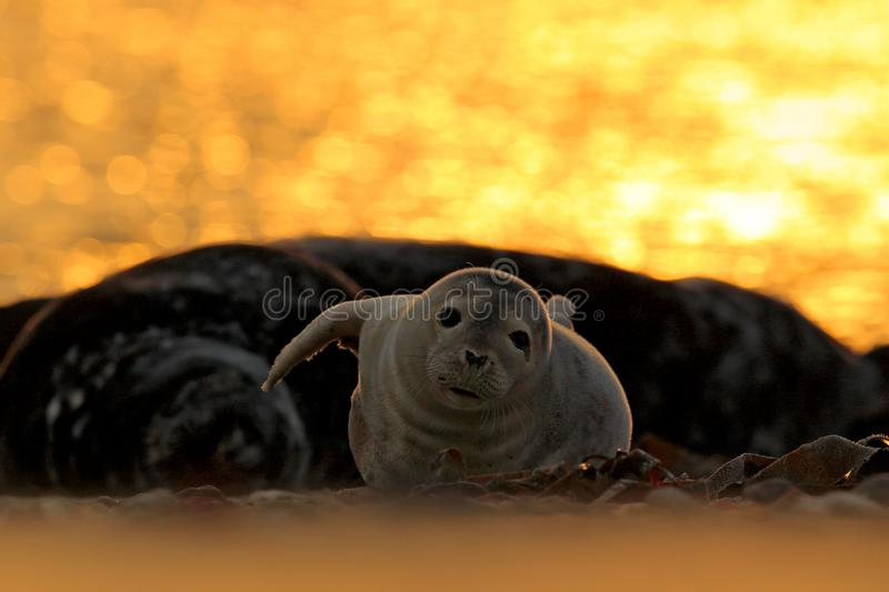 Animal in the water. Grey Seal, Halichoerus grypus, detail portrait in the blue water, wave in the background, animal in the natur stock images
