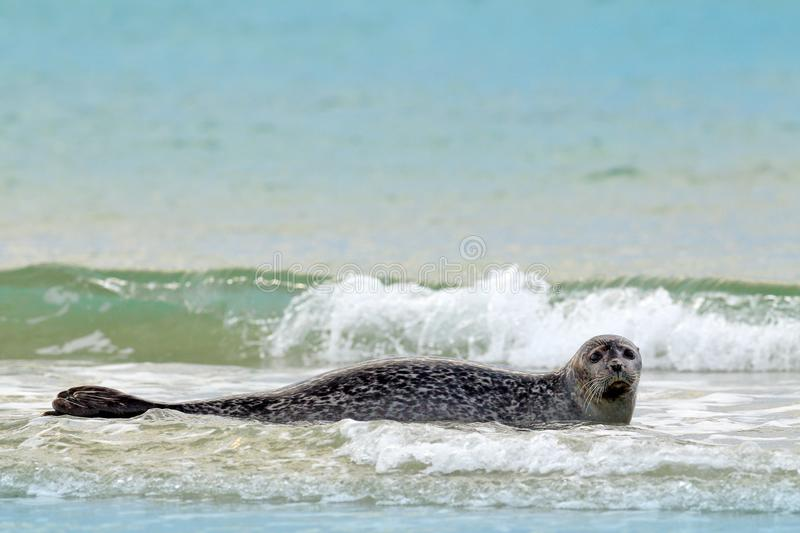 Animal in the water. Grey Seal, Halichoerus grypus, detail portrait in the blue water, wave in the background, animal in the natur royalty free stock photos