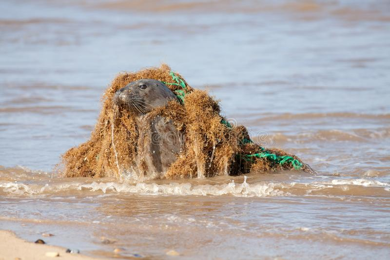 Animal welfare. Marine pollution. Seal caught in plastic fishing net. Animal welfare. Marine pollution. Seal caught in discarded plastic fishing net. Dangerous royalty free stock photography