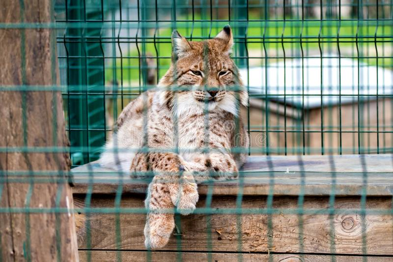 Animal wild cat behind the fence in the zoo enclosure. Image animal wild cat behind the fence in the zoo enclosure stock photography