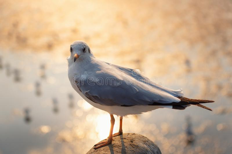 Animal and Wildlife, Close-Up Shot of Seagull Bird Against Sea Shore at Sunset., Grey Sea Gull Bird is Standing on Barrier Handrai. L With Golden Light of The royalty free stock image