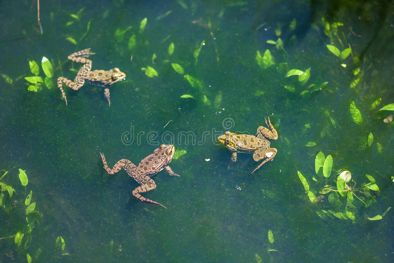 Animal world, frogs in swamp, looking around royalty free stock images