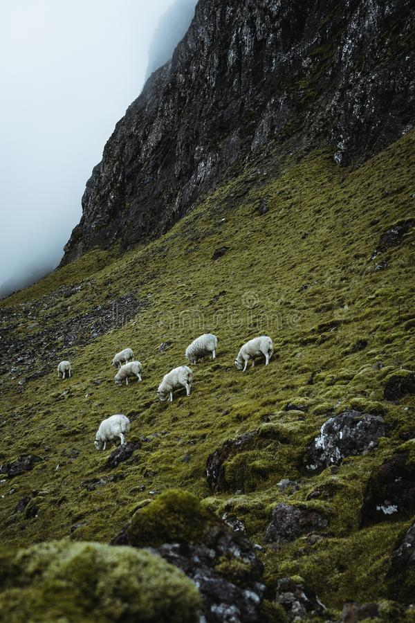 Sheeps in the vastness of Scotland stock photos