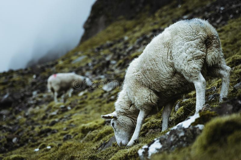 Sheeps in the vastness of Scotland stock photography