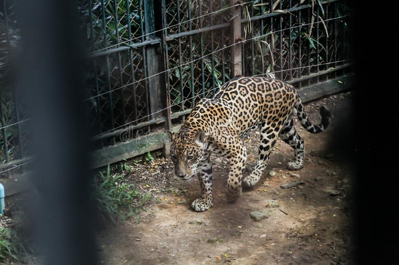 Animal in zoo captivity: Jaguar, the biggest cat in the Americas. Solitary, formidable predator animals, muscular body build, deep. Chest, large head, broad royalty free stock images