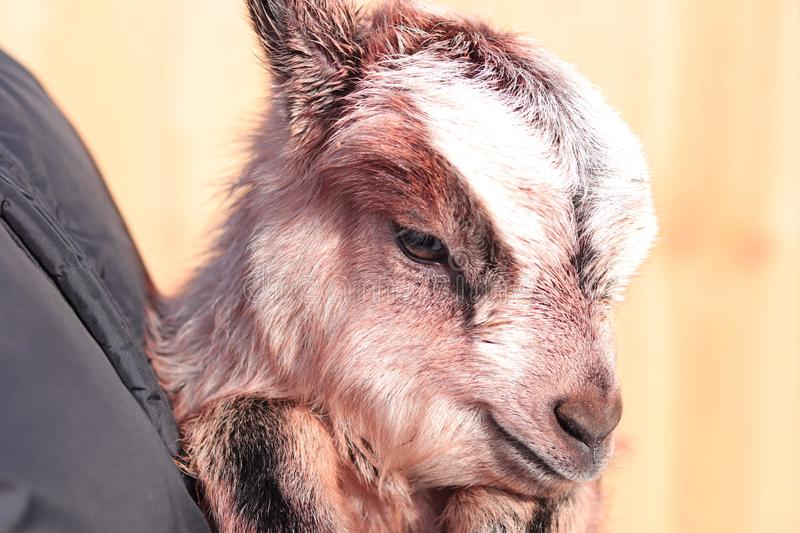 Sweet goat royalty free stock images