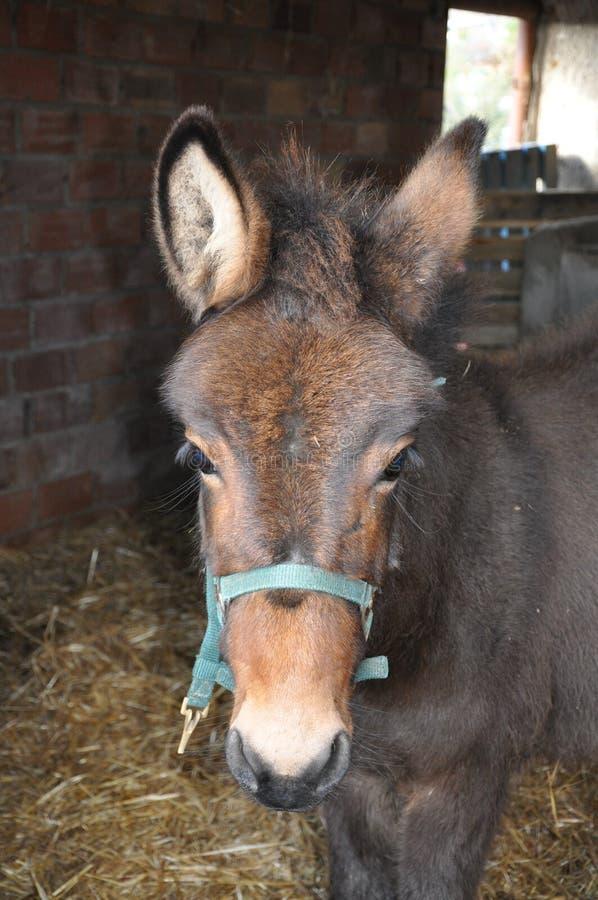 Animale d'un anno del mulo in granaio immagini stock libere da diritti