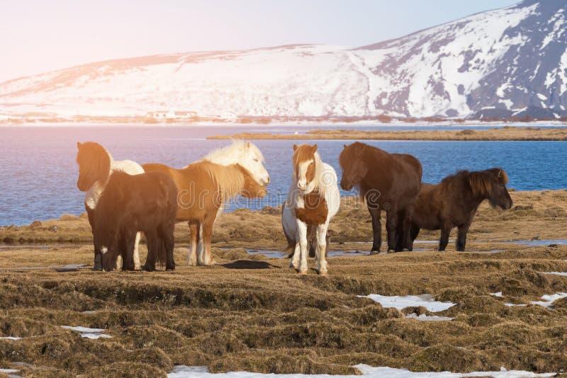 Animale da allevamento islandese dei cavalli fotografia stock